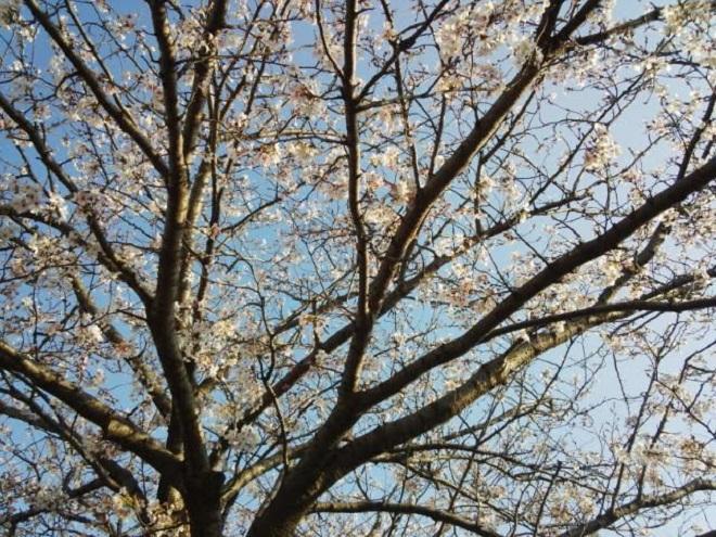 桜unnamed.jpg